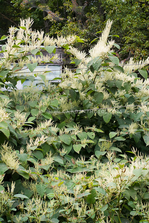 Fallopia japonica Japanese Knotweed invasive plant weed overwhelming and smothering a small building house trailer, spreading non-native in flower, perennial, Polygonaceae