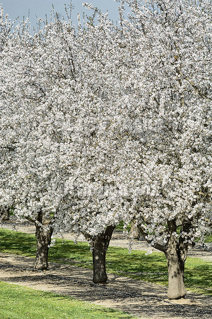 almond trees blooming angier fox celebrating rural america beyond