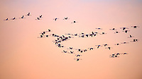 Greater flamingos (Phoenicopterus roseus), flock of flamingos flying, evening sky, Camargue, Southern France, France, Europe