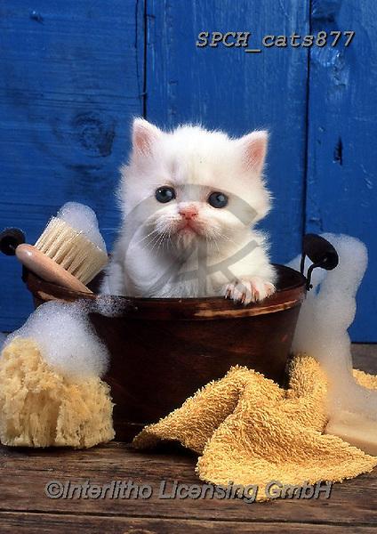 Xavier, ANIMALS, REALISTISCHE TIERE, ANIMALES REALISTICOS, cats, photos+++++,SPCHCATS877,#a#, EVERYDAY