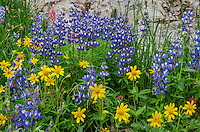 Wildflowers--lupine, arnica and paintbrush--in subalpine meadow, Central Cascade Mountain Range, WA.  Summer.