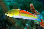 Halichoeres garnoti, Yellowhead wrasse, Florida Keys
