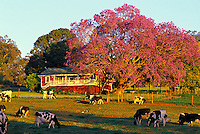 The old Haleakala Dairy ranch house with a Jacaranda tree in full bloom outside the town of Makawao in Olinda, upcountry Maui. The dairy has been out of business since about 1997 and has since been incorporated into the Haleakala Ranch.