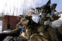 Veterinarian Julie Kittams holds onto dropped dogs in the back of a pickup truck as it heads to the Shageluk airport Saturday March 9, 2013...Iditarod Sled Dog Race 2013..Photo by Jeff Schultz copyright 2013 DO NOT REPRODUCE WITHOUT PERMISSION