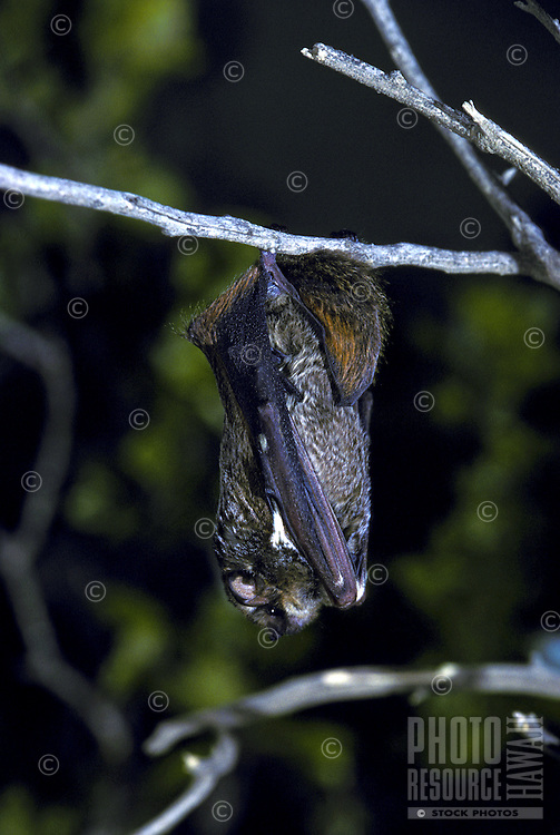 The endangered hoary bat, (lasiurus cinereus semotus).