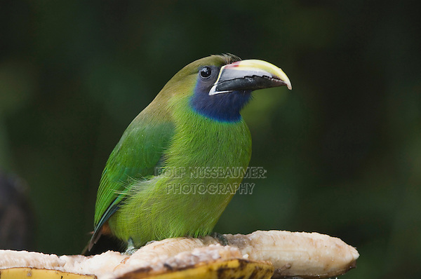 Emerald Toucanet, Aulachorynchus prasinus, adult perched on banana, Central Valley, Costa Rica, Central America