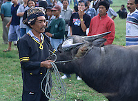 A farmer readies his bull for a fight. Bullfighting is part of Minang Kabau culture and contests take place every Tuesday and Saturday evening in towns and villages across central Sumatra. Indonesia, May 2000