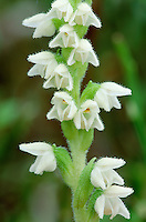 CREEPING LADY'S-TRESSES Goodyera repens (Orchidaceae) Height to 25cm. Perennial with both creeping stems and upright, flowering stalks. Grows in mature and undisturbed conifer woodland (mainly Scots Pine). FLOWERS are white, slightly sticky and do not open fully; arranged in a spiral fashion, in open spikes (Jul-Aug). FRUITS are egg-shaped. LEAVES are oval, stalked, net-veined and evergreen. STATUS-Locally common only in Scotland and N England; rare in N Norfolk.