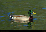 Mallard Male, Drake, Sepulveda Wildlife Refuge, Southern California
