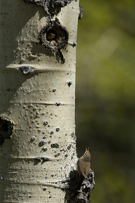 House wren, Troglodytes aedon, bird, wildlife, spring, Rocky Mountain National Park, Colorado, USA