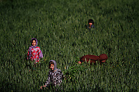 Girls pick up vegetables from a plot of land on the outskirts of Bamyan.