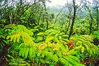 native tropical rainforest of tree fern, Hapu'u, Cibotium sp., and 'Ohi'a Lehua, Metrosideros polymorpha, Hawaii Volcanoes National Park, Kilauea, Big Island, Hawaii, USA