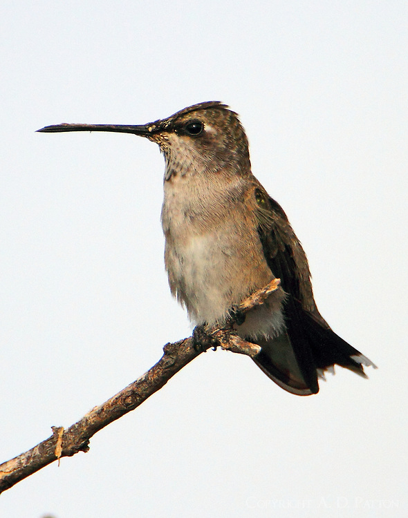 Juvenile male black-chinned hummingbird
