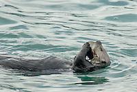 Sea Otter (Enhydra lutris) feeding on clam.