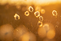 Cotton grass backlit by evening sun, Lofoten Islands, Norway