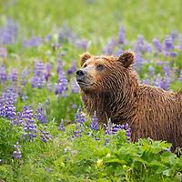 Coastal brown bear in a meadow of lupine wildflowers, Katmai National Park, Alaska Peninsula, southwest Alaska.