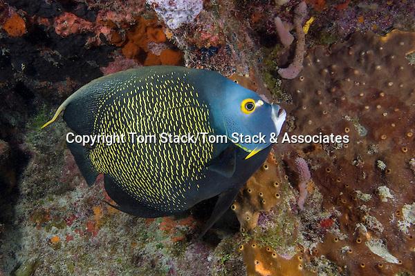 French Angelfish, Pomacanthus paru, Florida Keys National Marine Sanctuary