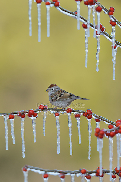 Chipping Sparrow (Spizella passerina), adult perched on icy branch of Possum Haw Holly (Ilex decidua) with berries, Hill Country, Texas, USA