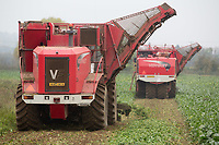 Contractors lifting sugar beet<br /> Picture Tim Scrivener 07850 303986<br /> &hellip;.covering agriculture in the UK&hellip;.