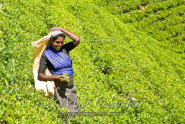 Tea picker with a handful of tea leaves on the slopes of the plantation.<br /> (Photo by Matt Considine - Images of Asia Collection)