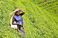 Tea picker with a handful of tea leaves on the slopes of the plantation. (Photo by Matt Considine - Images of Asia Collection)