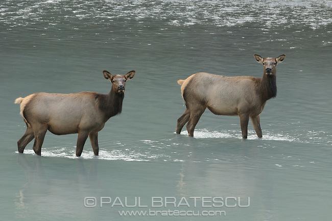 Roosevelt elk (Cervus elaphus roosevelti)