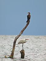 Herons in Chapala Lake, Ajijic, Mexico