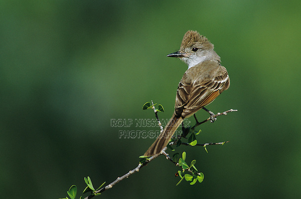 Ash-throated Flycatcher, Myiarchus cinerascens, adult perched, Starr County, Rio Grande Valley, Texas, USA, May 2002