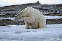 A polar bear scratches its chin on a barrier island outside Kaktovik, Alaska. Every fall, polar bears gather near the community, on the northern edge of ANWR, waiting for the Arctic Ocean to freeze. The bears have become a symbol of global warming.