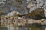 Halstatt, Austria  Nesting Swan on Halstatt Lake, Austria  Hallstatt, Austria