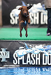 O'Malley participates in the Splash Dogs dock diving competition at the Pet Wellness and Adoption Festival Saturday, May 28, 2011, in Reno, Nev.  .Photo by Cathleen Allison