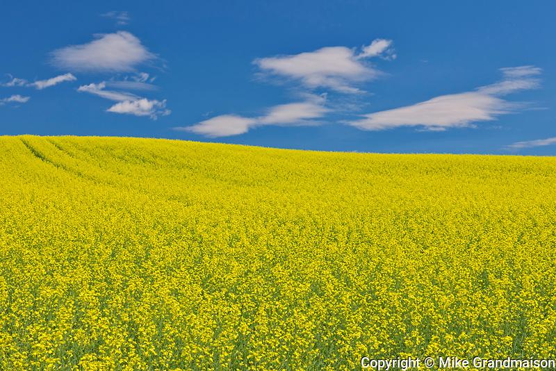 Canola crop in bloom<br />Duhamel<br />Quebec<br />Canada