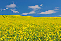 Canola crop in bloom<br />