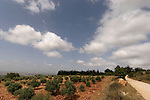 Israel, the Lower Galilee. Olive trees by Achihood forest scenic road