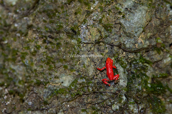 "Strawberry Poison Dart Frog (Oophaga pumilio ""Bastimentos""), Bastimentos Island, Panama"