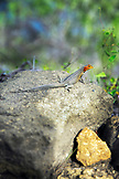GALAPAGOS ISLANDS, ECUADOR, Tangus Cove, a Lava Lizard seen on a rock on the NW side of Isabela Island