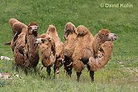 0620-1006  Three Bactrian Camels, Camelus bactrianus  © David Kuhn/Dwight Kuhn Photography