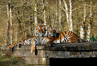 BNPS.co.uk (01202 558833)<br /> Pic: CalebHall/Longleat/BNPS<br /> <br /> Tigers take in the sun...<br /> <br /> Longleat Safari Park has been showing the public what they've been missing during the lockdown by releasing a candid collection of pictures of their famous collection of big cats.<br /> <br /> The Wiltshire park is currently closed to the public due to COVID-19 but has been giving animal lovers an insight into the animals.<br /> <br /> They have snapped the iconic lions in a number of spots around their enclosure as well as a series of photographs of their tigers.