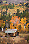 Aspen in autumn color, rustic cabin, Hope Valley, Alpine Co., Calif.