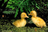 DG20-047z  Pekin Duck - ducklings