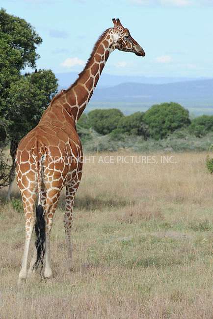 WWW.ACEPIXS.COM<br /> February 29, 2016 New York City<br /> <br /> Reticulated giraffe seen in Sweetwaters Game Reserve Ol Pejeta Conservancy on February 29, 2016 in Kenya.<br /> <br /> Credit: Kristin Callahan<br /> web: http://www.acepixs.com