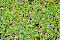 Aquatic plant, duckweed in a pond garden.