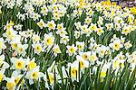 Fields of Daffodils in Paul Revere Park, Boston, MA