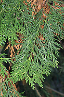 Japanese Thuja Thuja standishii (Cupressaceae) HEIGHT to 22m. Broadly conical tree. BARK Reddish-brown, peeling in strips or broader flakes. BRANCHES U-shaped with pendent grey-green shoot-tips. LEAVES Tiny, scale-like on flattened sprays, lemon-scented when crushed. REPRODUCTIVE PARTS Male flowers at shoot tips, dark red at first, yellower when open. Female flowers greenish, in separate clusters on tips of different shoots on same tree; ripen to red-brown, scaly cones. STATUS AND DISTRIBUTION Native of Japan, planted here for ornament.
