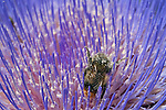 A Happy bumble bee covered with pollen crawling out of an Artichoke flower