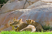 African Lions (Panthera leo)--mother with cubs.