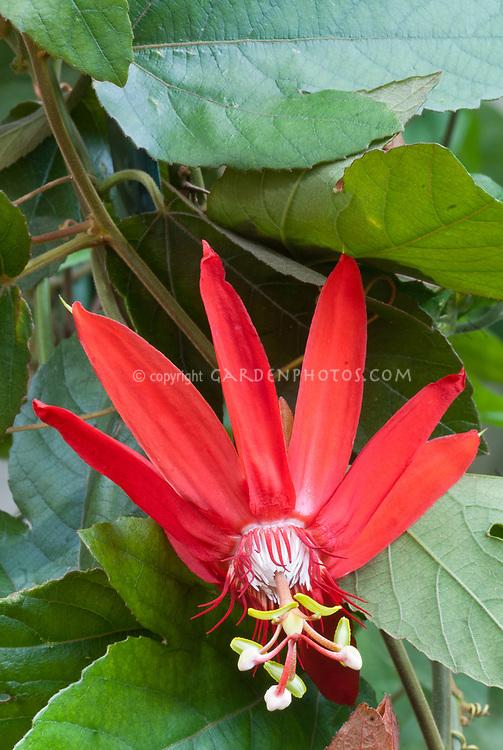 Passiflora vitifolia 'Scarlet Flame' passionflowers