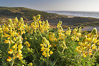 Yellow lupine wildflowers. Point Reyes National Seashore. California
