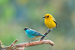 Golden-naped tanager, Tangara ruficervix (left), and golden tanager, Tangara arthus goodsoni. Tandayapa Valley, Ecuador