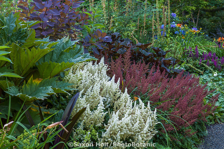 Astilbe chinensis 'Vision in White' and 'Vision in Red' Chinese Astilbe flowering in Bellevue Botanical Garden
